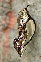 CASULO<br /> Mechanitis polymnia casabranca (Haensch, 1905) <br /> Família: Nymphalidae (borboleta).<br /> Uma das borboletas mais comuns, ocorrendo em quase todo o Brasil. Voa durante os doze meses do ano, lentamente e próxima ao solo, em locais sombreados e úmidos ou em clareiras e bordas das matas, à procura das flores das plantas do gênero Eupatorium (Asteraceae).