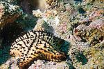 Beagle Rock, Galapagos, Ecuador; a Chocolate Chip Sea Star (Nidorellia armata) or star fish, sits on the rocky reef , Copyright © Matthew Meier, matthewmeierphoto.com All Rights Reserved