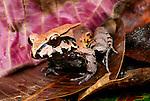 South American Bullfrog, Tambopata River region, Peru