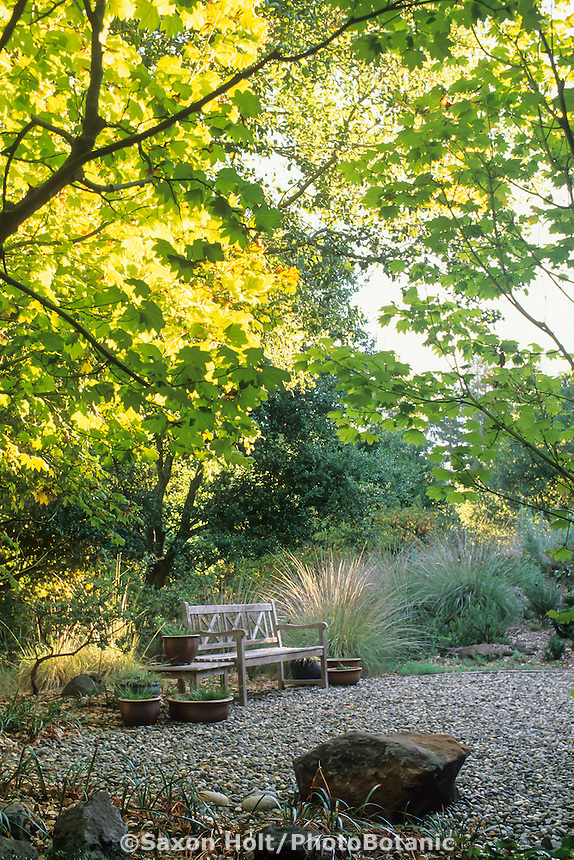 Summer-dry, drought tolerant, naturalistic, Mediterranean garden with California native Acer circinatum (Vine Maple)