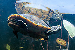 Northern Red-bellied Cooter underwater swimming in Burrage Pond, Hanson, MA