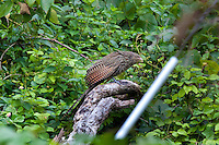 Pheasant Coucal, below Springbrook NP, Queensland, Australia