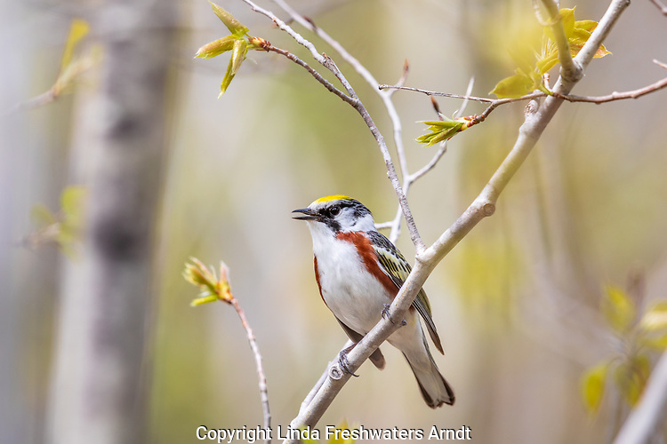 Male chestnut-sided warbler singing at the edged of a northern forest.