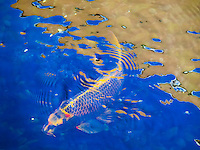 Koi fish swims under a reflective design on a pond's water surface, Big Island.