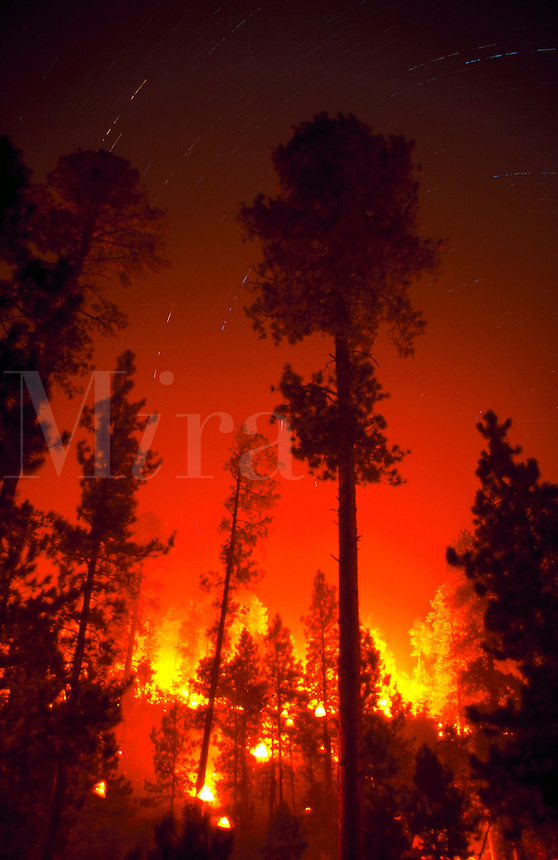 Prescribed fire burns at night lighting up trunks of ponderosa pins