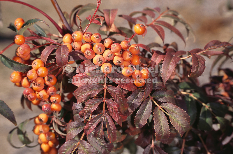 11197-CC Longwood Sunset Mountain Ash, Sorbus rufo-ferruginea, developed by Longwood Gardens, fall color and berries, at Mourning Cloak Ranch, Tehachapi, CA