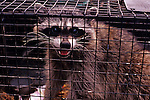 Mother racoon is captured and put in a metal cage.  She was living under a residential homes front porch.  She is hissing and baring teeth to all that pass.  Marysville, Washington State, USA