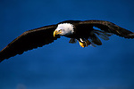 A magnificent bald eagle in flight in Southeast Alaska.