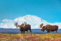 Two bull moose in front of Mt. Denali, Denali National Park, Alaska.