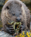 Otter with a crab in UK by John Cobham