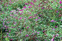 Butterfly bush, Buddleia davidii