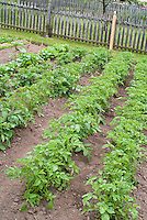 Potatoes vegetable growing in garden hills in rows in farm patch, mounds of soil