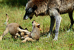 Eight week old wolf pups with mom, Montana