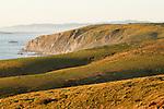 Tule Elk (Cervus elaphus nannodes) herd in coastal grassland, Point Reyes National Seashore, California