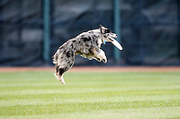August 1, 2009:  America's best Frisbee Dogs appearance during a Erie Seawolves game at Jerry Uht Park in Erie, PA.  Erie is the Eastern League Double-A affiliate of the Detroit Tigers.  Photo By Mike Janes/Four Seam Images
