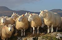 Cheviot ewes, Scotland.