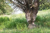 Biber, Europäischer Biber, Fraßspur vom Biber, Biber hat Baum angenagt, Castor fiber, beaver, European beaver, Castor d´Europe