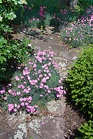 Dianthus, fragrant pinks in stone path walkway, Buxus boxwood shrubs