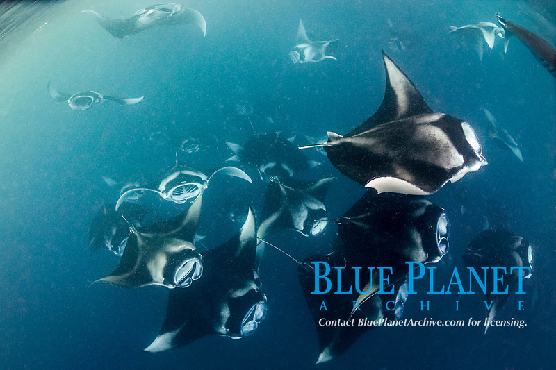 reef manta rays, Mobula alfredi, vortex-feeding on plankton, Hanifaru Bay, Baa Atoll, Maldives, Indian Ocean