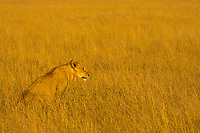 Female African lion sitting and watching for something to hunt in the beautiful yellow savanna grass of Masai Mara national park in Kenya, Africa