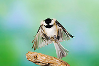 Carolina chickadee, Poecile carolinensis, adult in flight, New Braunfels, Hill Country, Texas, USA, North America