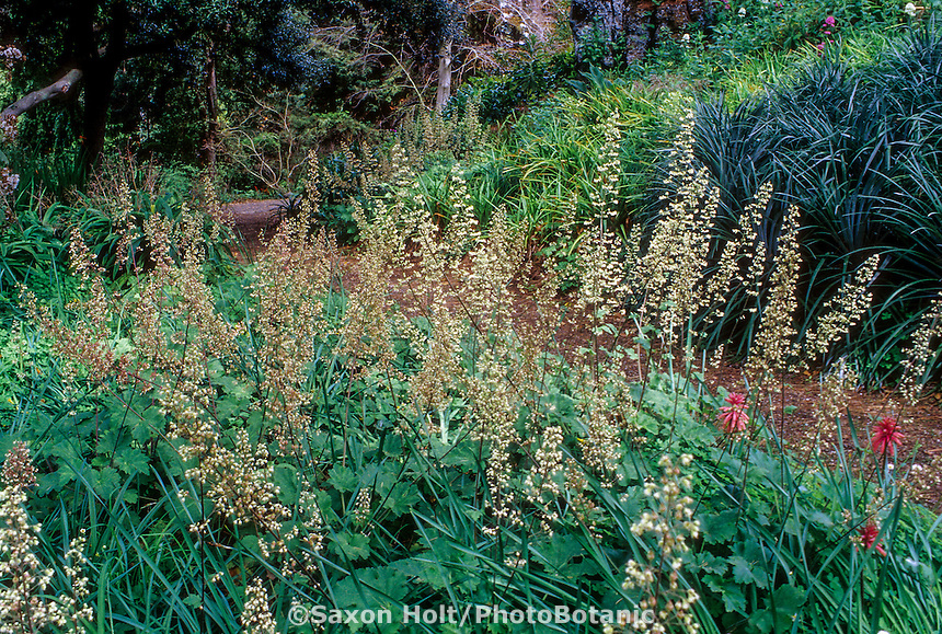 Heuchera maxima (Island Alum Root, Coral Bells) flowering along garden path