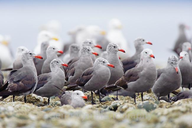 Flock of adult Heermann's Gulls (Larus heermanni) on intertidal rocks. Jefferson County, Washington. August.