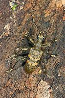 Schwarzfleckiger Zangenbock, Bissiger Zangenbock, Kleiner Laubholzzangenbock, Schrot-Zangenbock, Laubholz-Zangenbock, Schrotzangenbock, Rhagium mordax, blackspotted pliers support beetle, oak longhorn beetle