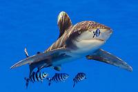 oceanic whitetip shark, Carcharhinus longimanus, with pilot fish, Naucrates ductor, Big Island, Hawaii, USA, Pacific Ocean