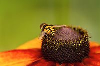 Honey bee on orange flower against yellow backdrop