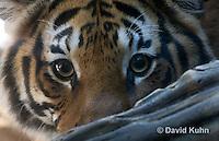 0328-1009  Malayan Tiger, Panthera tigris malayensis  © David Kuhn/Dwight Kuhn Photography.