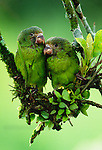 Cobalt-winged parakeets, Amazon Basin, Ecuador