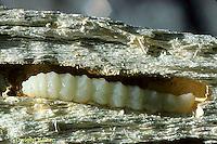 HY07-004a   Pigeon Tremex - Horntail - larva inside wood - Tremex columba
