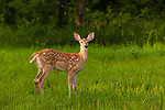 White-tailed fawn in a field in northern Wisconsin.