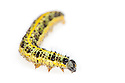 Large / Cabbage White Butterfly (Pieris brassicae) caterpillar photographed on a white background. UK.
