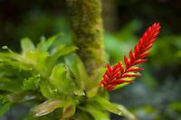 Blooming Bromiliad. Hawaii Tropical Botanical Gardens. Hawaii, The Big Island.