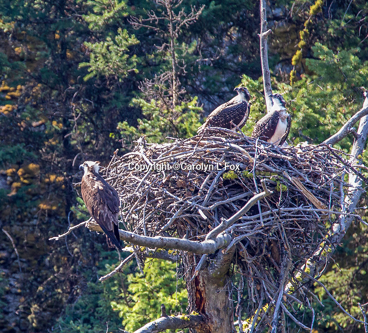 There's nearly always an Osprey nest along the Lamar River in Yellowstone.