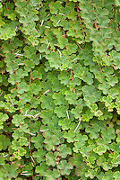Rubus calycinoides Ornamental Raspberry groundcover