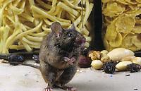 Hausmaus, Haus-Maus, Maus, frisst in einer Speisekammer, Küche, Nahrungsschädling, Mus musculus, house mouse
