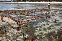 "Jambiani, Zanzibar, Tanzania.  Village woman walks by rows of seaweed planted  by village women.  Three weeks after planting it can be harvested.  After drying, it will be exported to Asia.  The plots can only be tended at low tide.  Women receive about twelve cents per kilo, ""thin and dried."""