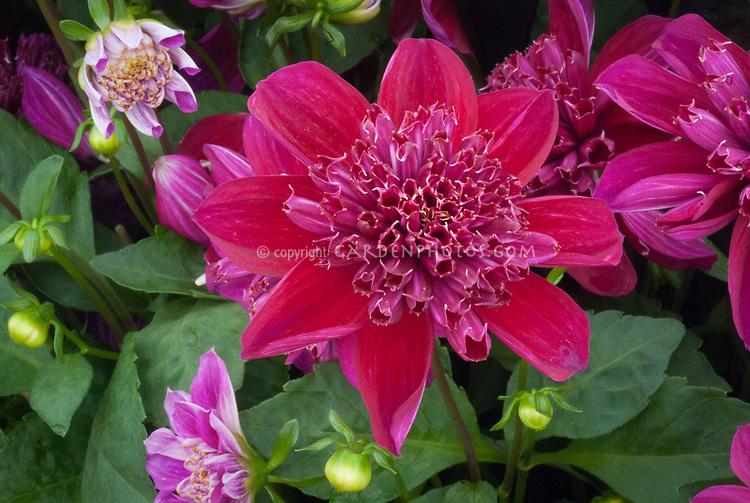 Dahlia 'Purpinka'patio dwarf anemone type