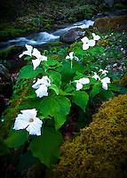 White trillium (Trillium grandiflorum) and spring cascade