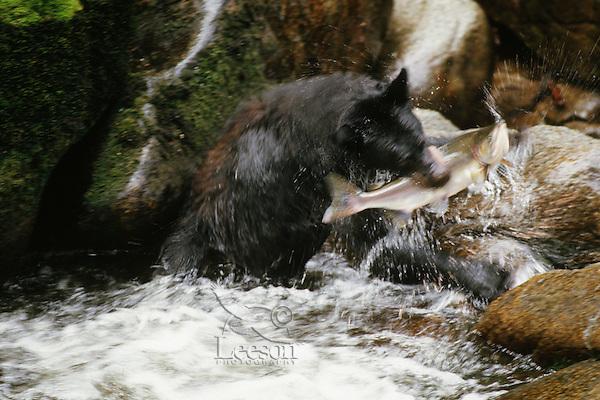 Black bear (Ursus americanus) catching salmon