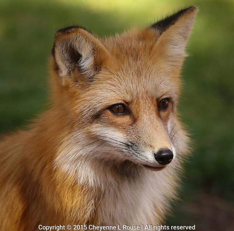 Red Fox - Arizona<br /> (captive)