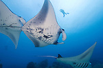 A diver encounters feeding Manta Rays, Manta birostris, at Goofnuw Channel, Valley of the Rays, Yap, Micronesia, Pacific Ocean (MR)