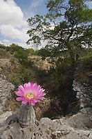 Lace Cactus, Echinocereus reichenbachii, blooming, Uvalde County, Hill Country, Texas, USA, April 2006