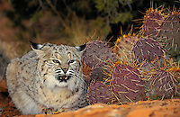 BOBCAT and cacti.  Defensive threat posture with neck lowered and ears flat.  Near Arches National Park, Utah. American Southwest. Autumn. (Felis rufus).