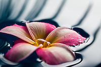 Close up of fragrant plumeria floating on water, with palm leaf reflection