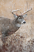 White-tailed Deer Buck (Odocoileus virginianus) in cold, wet snow on a November morning.