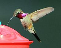 Adult male lucifer hummingbird